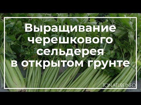 Выращивание черешкового сельдерея в открытом грунте | toNature.Info