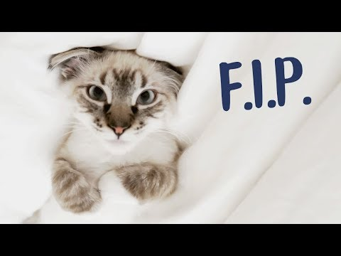 Does My Kitten Have F.I.P.?