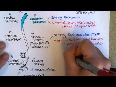 Spinal Nerves (video)