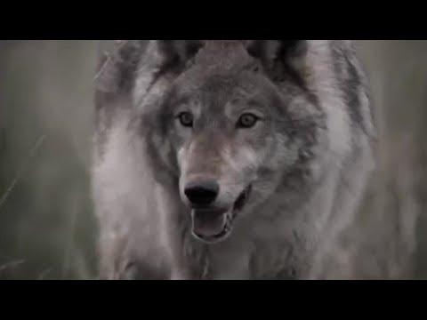 Wolves developent into pack killing animals Lobo #02