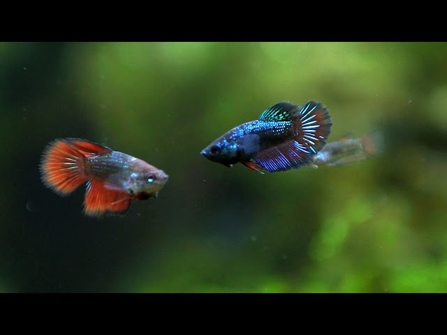 Betta fish . Betta Fry age 2 and 1,5 months.