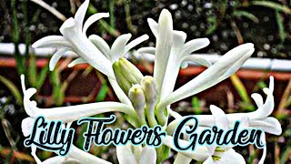 Lily Flowers Garden On My Terrace | Lily Flower Blooming Video - Lily Flower Planting #Madhuajit