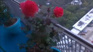 Sedona, Firefighter, Mr Lincoln, Chrysler Imperial Ect Hybrid Tea Roses.  Part 3