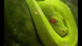 Vẻ đẹp đáng sợ của những loài rắn độc nhất hành tinh  (HD thuyết minh - NatGeo Tiếng Việt)