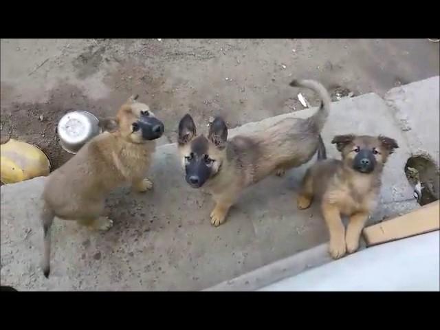 Очень милые щенки- девочки в дар