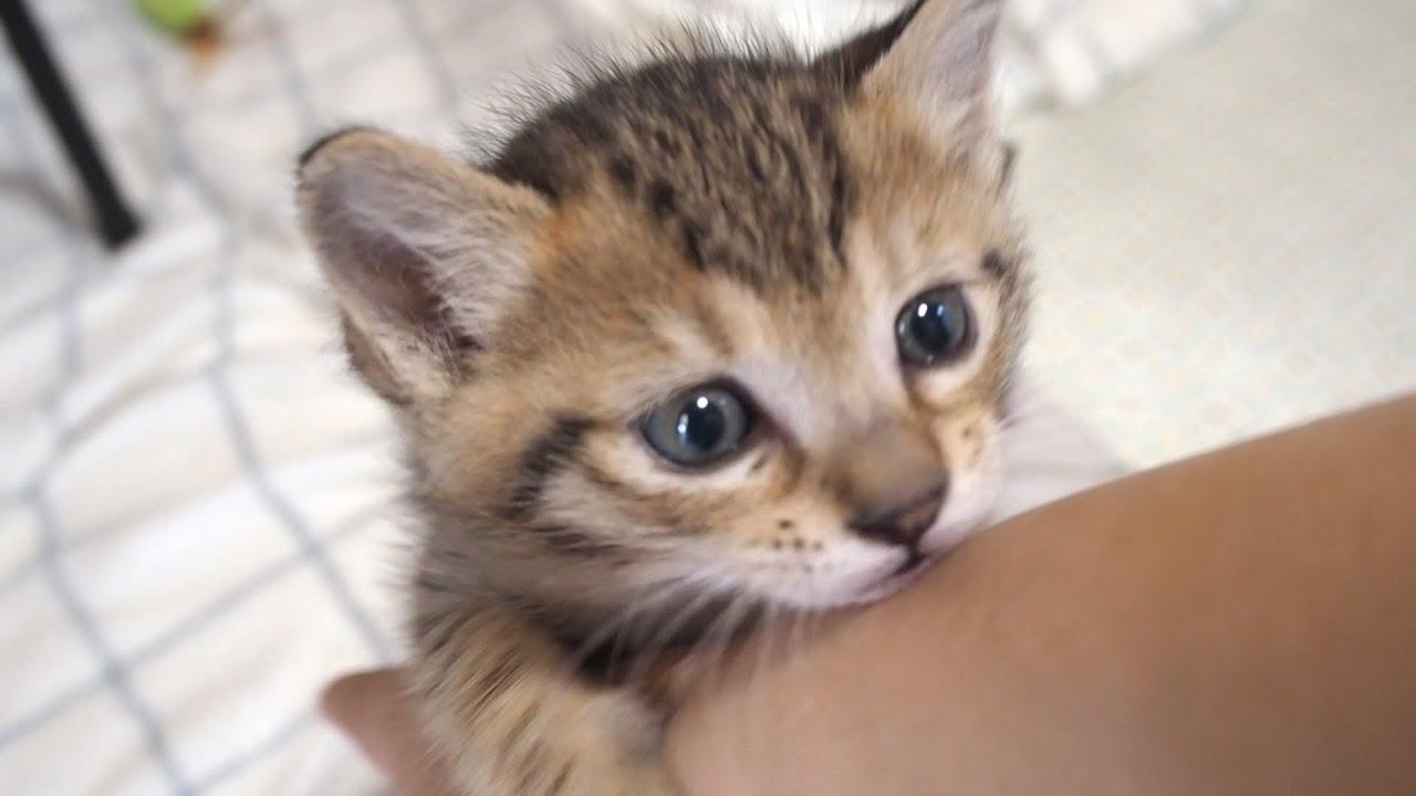 「もっと遊んで行ってよ」と子猫が鳴きながら腕にしがみ付いて甘えてくる姿が愛くるしい。【赤ちゃん猫】【保護子猫】