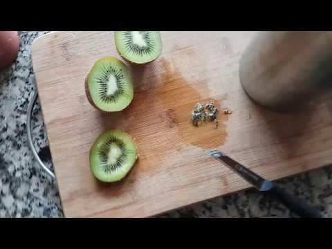 Kivi Çimlendirme. Evde Çekirdekten - Tohumdan . Growing Kiwi From Seed