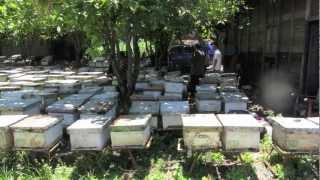 Java Bees Bee keeping in central Java, Indonesia