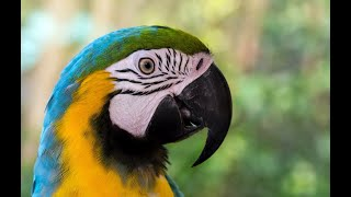 Blue-and-Gold Macaw Parrot