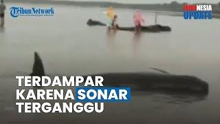 Puluhan Paus Terdampar di Pantai Modung, BKSDA Menduga Gara-gara Sonar yang Terganggu