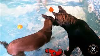 Dog Pool entre amis