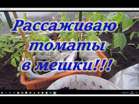 Рассаживаем томаты в большие емкости земли и готовим в дальнейшем их к грунту