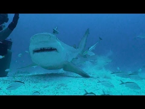 Bull Sharks of Playa Del Carmen, MX with Phantom Divers