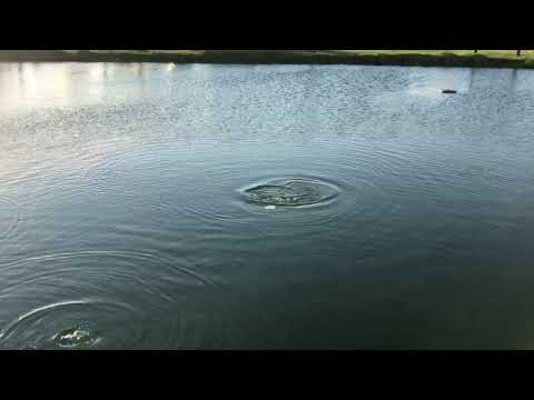 Massive Catfish in the Beacon 44 Pond