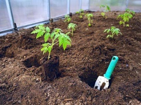 На каком расстоянии друг от друга сажать томаты? В сколько стеблей формировать?