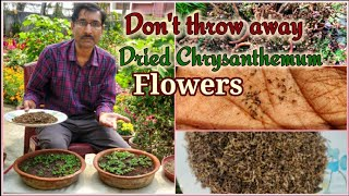 Grow Chrysanthemum From Seeds. Dont Throw Away The Dried Flowers