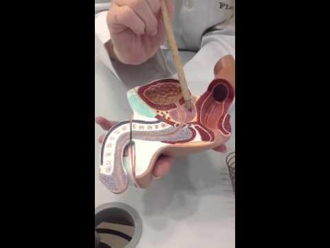 Próstata vídeo de terapia de masaje