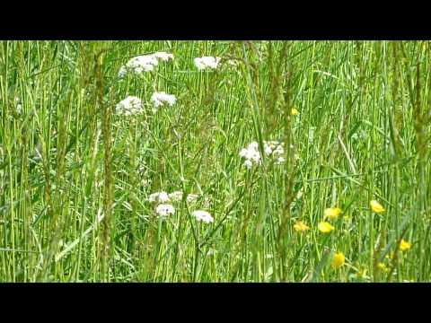 Spring - Lathyrus Vernus - Ranunculus Acris - 28-04-2011 - 7