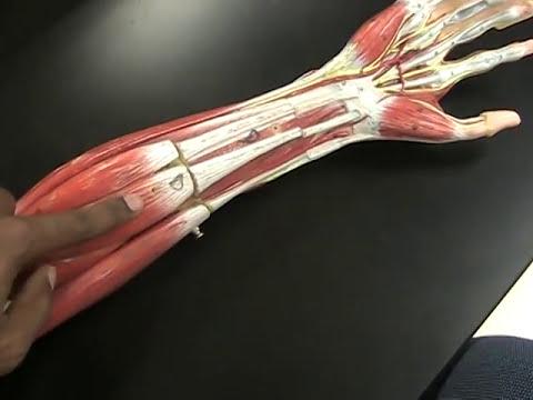 Quels muscles travaillent à pryganie sur la balle