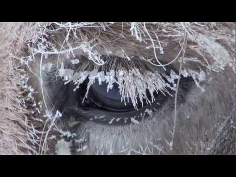 , title : 'Yakutian Horses Who Never Freeze in Siberia Russia. Якутские лошади в Якутии