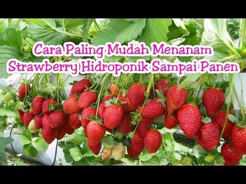 Video Cara Paling Mudah Menanam Strawberry Hidroponik Sampai Panen