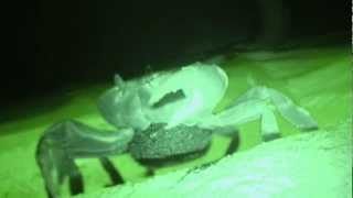 preview picture of video 'Land Crabs in Grand Cayman'