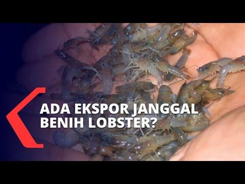 ekspor janggal benih lobster di indonesia