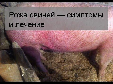 Рожа свиней — симптомы и лечение