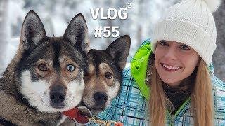 Husky - Hundeschlitten in Finnisch Lappland