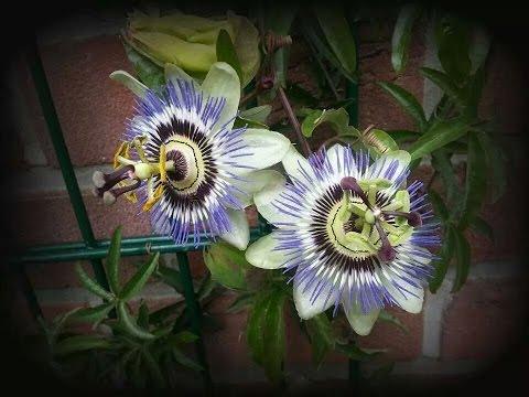 Passionsblume (Passiflora) vermehren