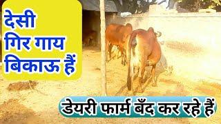 देसी गिर गाय डेयरी फार्म बिकाऊ है | For Sale: Desi Gir Cow @Dairy Farm in India Hindi.