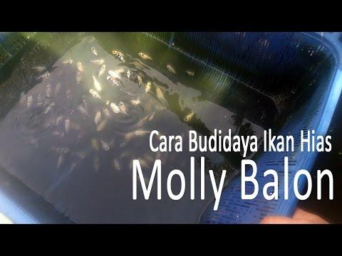 Video Cara Budidaya Ikan Molly Balon Untuk Partai Besar