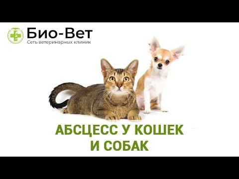 Абсцесс у Кошек 🐱 и Собак 🐶// Сеть Ветклиник БИО-ВЕТ