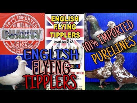 , title : 'ENGLISH FLYING TIPPLER || BIO RESEARCH ||BIO PIGEON || LADY FANCIER