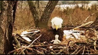 Decorah Eagles- DM2 Takes Over & Eaglet Gets Out Of Nest Bowl DM2 Gets Eaglet Back In
