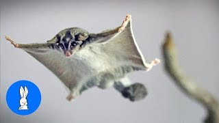 SUGAR GLIDERS Flying - Funny & Cute Compilation