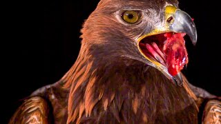 Golden Eagle Flying In Slow Motion | BBC Earth