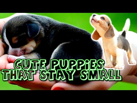 Download Cute Puppies That Stay Small And Don't Shed Mp4 HD Video and MP3