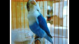 Gambar cover Love Bird Juara Nasional Ngekek Panjang  !!! Ampuh Pemancing Love Bird