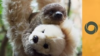 London Zoo: Baby Sloth, His Human Mother And Teddy Bear Brother