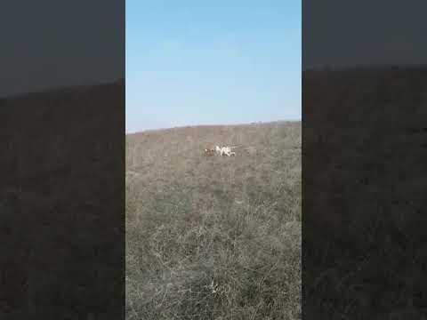 Bıldırıcın Av Videoları 10