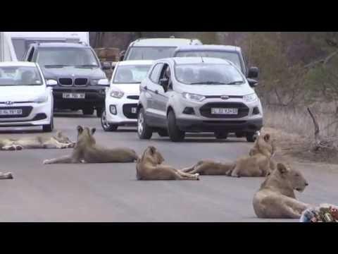 raja hutan singa mengamuk dijalan pengendara terpaksa berhenti