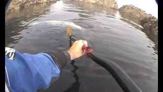 Seal Encounters - Sea Kayaking Wales U.K.