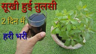 सूखी हुई तुलसी का पौधा 2 दिन में हरा भरा सिर्फ यह डालें