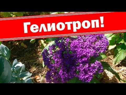 Гелиотроп, как цветёт, растет,  развивается