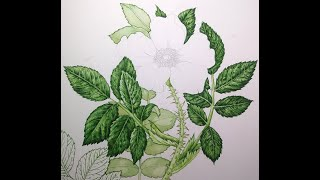 Botanical Illustration Of Rose Leaves