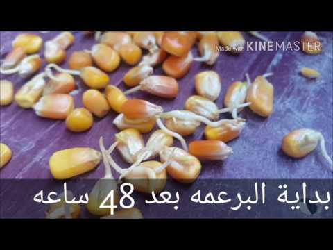 نجاح استنبات ذره صفراء fodder system corn outdoor