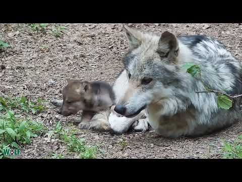 Wolf Dad Grows Grumpy Around Relentless and Adorable Pups
