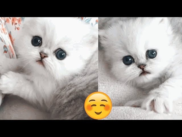 Cutest Persian Kittens Videos Compilation 2019