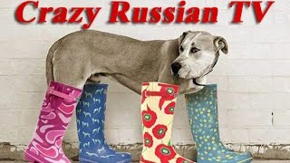Funniest Russian dog wears small shoes
